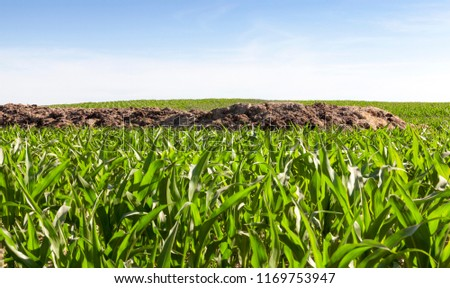 a heap of manure for soil fertilization, lying on the field on which a beautiful green maize grows and grows, the beginning of summer on a farming field #1169753947