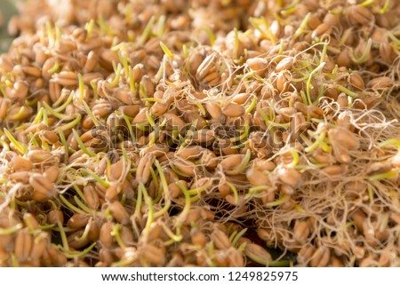 A heap of sprouted fresh wheat, close-up, the theme of healthy food and raw food
