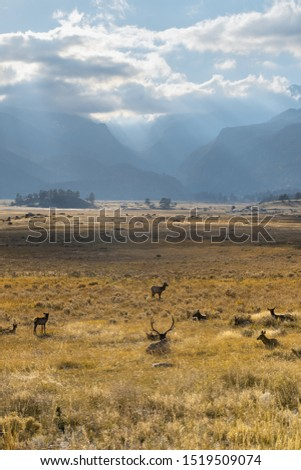 A heard of elk grazing in the Moraine valley Rocky Mountain National Park.  Pictured looking towards mountains on a sunny autumn afternoon
