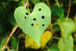 A heart-shaped damaged leaf of an obscure morning glory plant