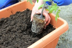 A Heavy Root Ball On A Tomato Plant Being Potted By A Gardener In To A Planter Full Of Compost