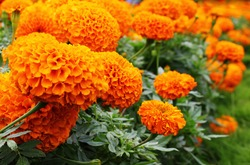 A hedge of bright, orange marigolds. Genus - Tagetes