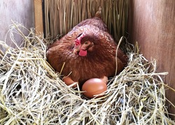 A hen is laying egg in straw nest. Chicken in chicken coop with eggs