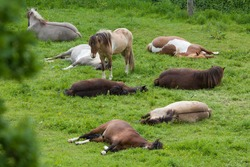 A herd Iceland horses are on pasture and sleep. A horse sleeps standing up.
