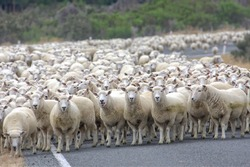 A herd merino sheep on the road,New Zealand