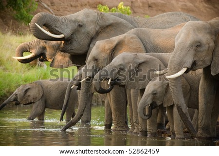 A herd of african elephants drinking at a waterhole in botswana