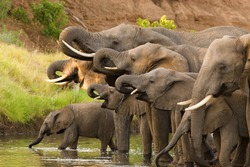 A herd of African elephants drinking at a waterhole lifting their trunks at the same time