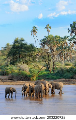 A herd of African elephants drinking at a waterhole lifting their trunks at the same time stock photo