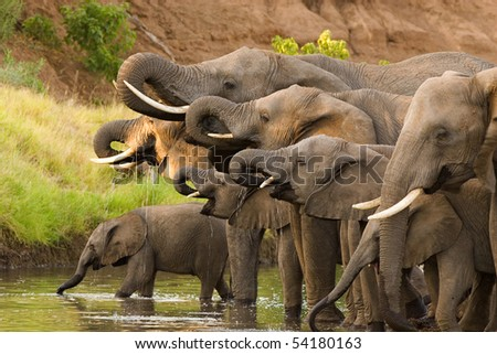 A herd of African elephants drinking at a waterhole lifting their trunks at the same time Stock photo ©
