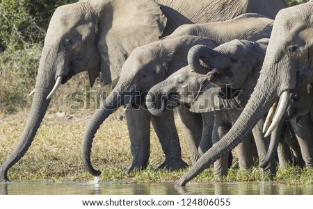 A herd of African elephants drinking water from a natural pan in Kruger Park, South Africa