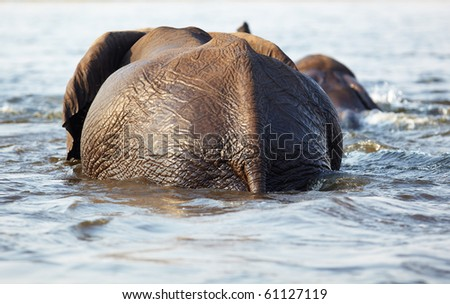 A herd of African elephants (Loxodonta Africana) crossing the Chobe River in Botswana