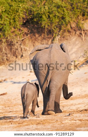 A herd of African elephants (Loxodonta Africana) on the banks of the Chobe River in Botswana drinking water, with juveniles and a calf