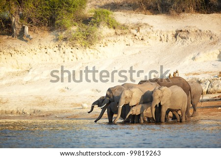 A herd of African elephants (Loxodonta Africana) on the banks of the Chobe River in Botswana drinking water - stock photo