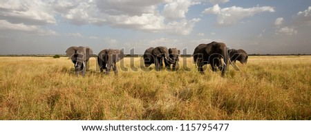 A Herd of African Elephants move across the savanna. Serengeti National Bank.
