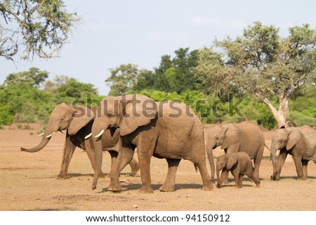 A herd of african elephants walking behind each other