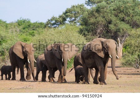 A herd of african elephants walking in single file