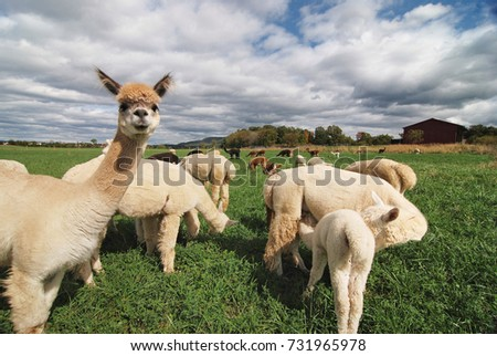 A herd of Alpaca standing and grazing in a field on a farm. A variety of fleece types and colors are visible