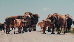A herd of American Bison or American Buffalo causing a traffic jam on a rural road in the Neal Smith National Wildlife Refuge, Iowa, USA.