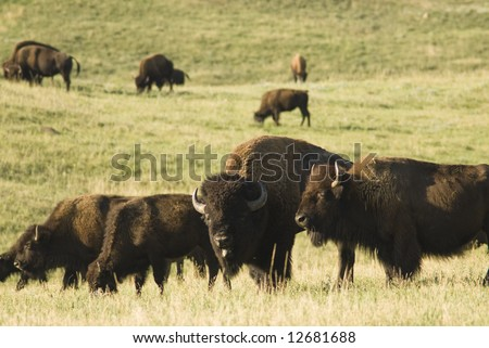 a herd of American buffalo grazing in Custer State Park in the Black Hills of South Dakota. The largest land mammal in North America.