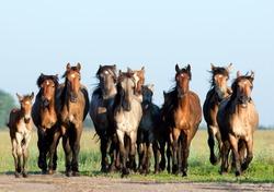 A herd of Belorussian harness horses in field.