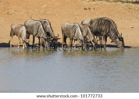 A herd of Blue Wildebeest (Connochaetes taurinus) drinking water from a natural pan in South Africa's Kruger Park