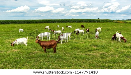 A herd of boer goats in a pasture.