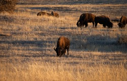 A herd of buffalo grazing on the plains. Wildlife, ecology,tourism concepts.