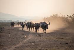 A herd of buffalo walking in a line.