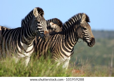 A herd of Burchell Zebra on the move in Addo elephant national park, South Africa