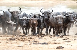 A herd of Cape Buffalo charging away from the water after being spooked by a predator.