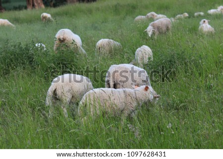 A herd of clear sheep color graze in a meadow with a tall green lush grass. Pasture of a farm with construction and trees. Industrial livestock. Livestock. Source of income of rural residents. #1097628431