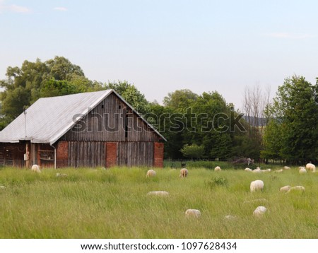 A herd of clear sheep color graze in a meadow with a tall green lush grass. Pasture of a farm with construction and trees. Industrial livestock. Livestock. Source of income of rural residents. #1097628434