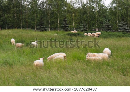 A herd of clear sheep color graze in a meadow with a tall green lush grass. Pasture of a farm with construction and trees. Industrial livestock. Livestock. Source of income of rural residents. #1097628437