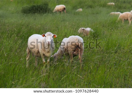 A herd of clear sheep color graze in a meadow with a tall green lush grass. Pasture of a farm with construction and trees. Industrial livestock. Livestock. Source of income of rural residents. #1097628440