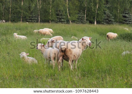 A herd of clear sheep color graze in a meadow with a tall green lush grass. Pasture of a farm with construction and trees. Industrial livestock. Livestock. Source of income of rural residents. #1097628443