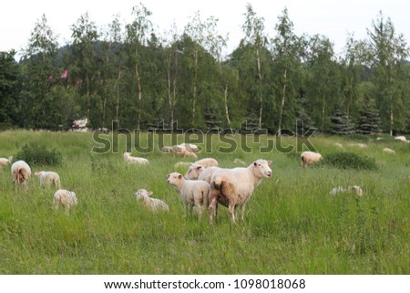 A herd of clear sheep color graze in a meadow with a tall green lush grass. Pasture of a farm with construction and trees. Industrial livestock. Livestock. Source of income of rural residents. #1098018068