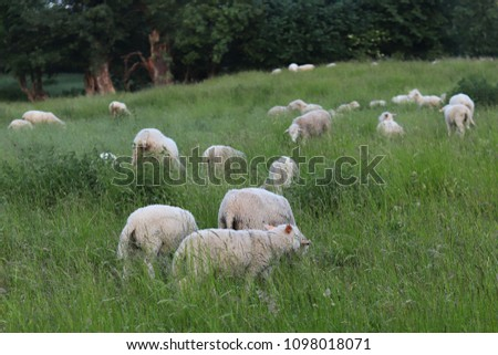 A herd of clear sheep color graze in a meadow with a tall green lush grass. Pasture of a farm with construction and trees. Industrial livestock. Livestock. Source of income of rural residents. #1098018071