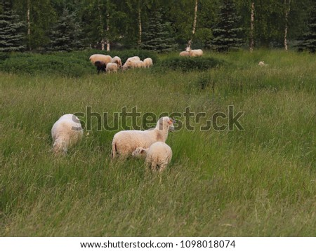A herd of clear sheep color graze in a meadow with a tall green lush grass. Pasture of a farm with construction and trees. Industrial livestock. Livestock. Source of income of rural residents. #1098018074