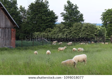 A herd of clear sheep color graze in a meadow with a tall green lush grass. Pasture of a farm with construction and trees. Industrial livestock. Livestock. Source of income of rural residents. #1098018077