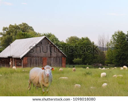 A herd of clear sheep color graze in a meadow with a tall green lush grass. Pasture of a farm with construction and trees. Industrial livestock. Livestock. Source of income of rural residents. #1098018080