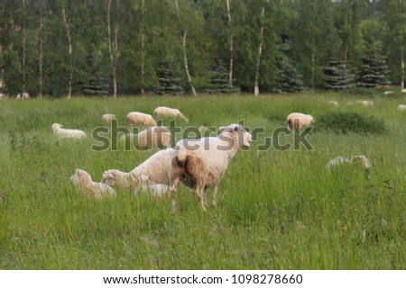 A herd of clear sheep color graze in a meadow with a tall green lush grass. Pasture of a farm with construction and trees. Industrial livestock. Livestock. Source of income of rural residents. #1098278660