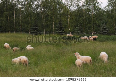 A herd of clear sheep color graze in a meadow with a tall green lush grass. Pasture of a farm with construction and trees. Industrial livestock. Livestock. Source of income of rural residents. #1098278666