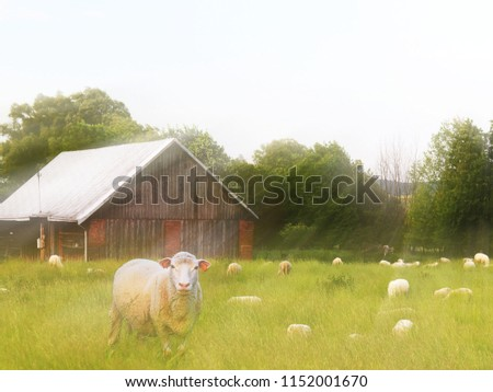 A herd of clear sheep color graze in a meadow with a tall green lush grass. Pasture of a farm with construction and trees. Industrial livestock. Livestock. Source of income of rural residents. #1152001670
