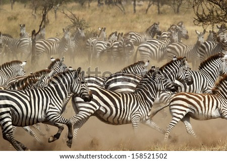 A herd of common zebras (Equus Quagga) galloping in Serengeti National Park, Tanzania #158521502