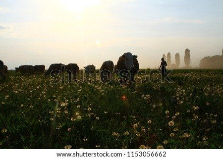A herd of cows and a shepherd as a silhoettes at the filed of dandelions in the summer sunny morning.  #1153056662