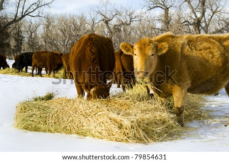 A herd of cows eat hay during a winter in Montana