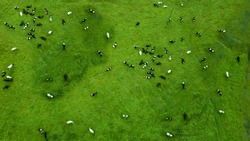 a herd of cows grazes in a field top view