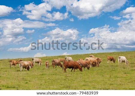 A herd of cows grazing and resting on a pasture in austria on a cloudy summer day