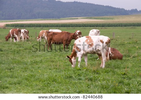 A herd of cows grazing on pasture.