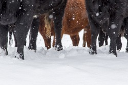 A herd of cows in a snowy pasture